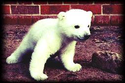 Eisbärli
