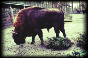 Wisent grosss