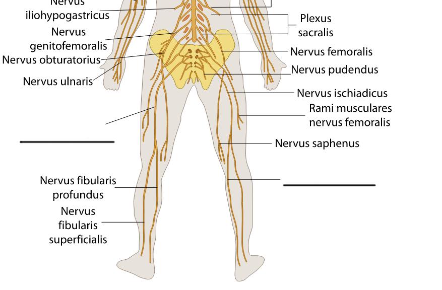 Erfreut Nerven In Den Beinen Bilder - Menschliche Anatomie Bilder ...