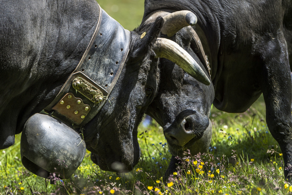 Mit zwei Kühen lässt sich die Welt erklären. Wofür wohl die zwei kämpfenden Eringerkühe stehen? Foto: Dominic Steinmann (Keystone)