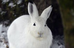 Ein Schneehase im Tierpark in Goldau. (Keystone)