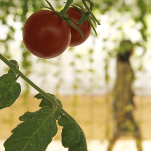 """Cherry tomatos are pictured inside an office of Pasona Group, an employment and staffing company, in Tokyo October 20, 2010. Vegetables, fruits and rice are grown and harvested by the employees at the company's """"urban farm"""", aimed at creating a working environment coexisting with nature, according to the company. Negotiators from over 190 countries are gathered in Nagoya, Japan for a United Nations meeting to discuss ways to fight rising extinctions of plants and animals from pollution, climate change and habitat loss. REUTERS/Yuriko Nakao (JAPAN - Tags: BUSINESS ENVIRONMENT FOOD AGRICULTURE) - RTXTMY5"""