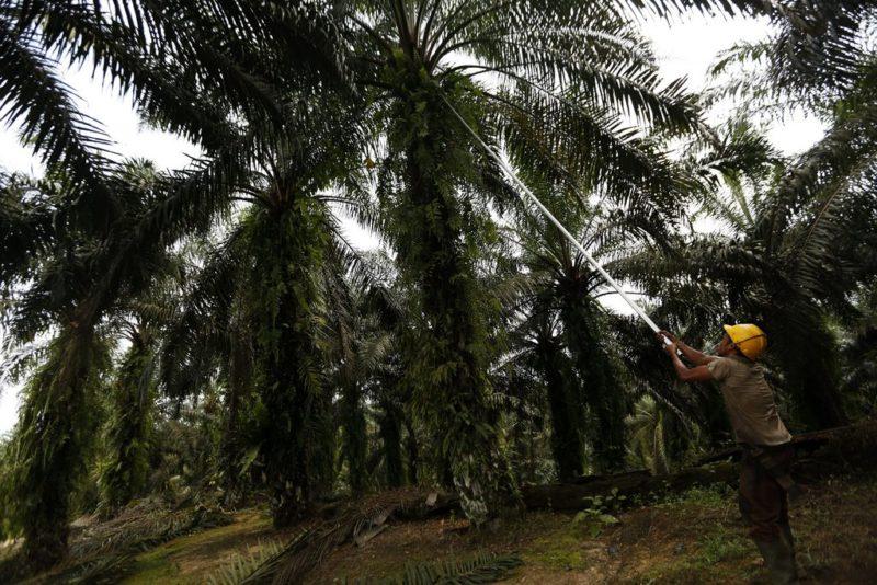 Lukratives Geschäft: Eine Palmölplantage in Tamiang, Indoniesien. Foto: Hotli Simanjuntak (EPA, Keystone)