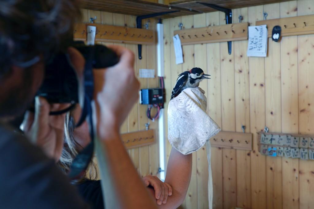 Col de Bretolet - Vogelberingungsstation der Vogelwarte Sempach - Buntspecht im Fokus - seltene Exemplare werden fotografiert
