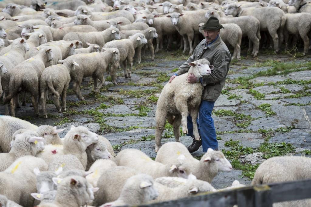 """Schafe werden nach dem Alpsommer an der traditionellen """"Schafteilet"""" auf ihre Besitzer aufgeteilt, aufgenommen am Donnerstag, 17. September 2015, in Vals. (KEYSTONE/Gian Ehrenzeller) Sheep are split to their owners after a summer on the alp, on Thursday, September 17, 2015, in Vals, canton of Grisons, eastern Switzerland. (KEYSTONE/Gian Ehrenzeller)"""