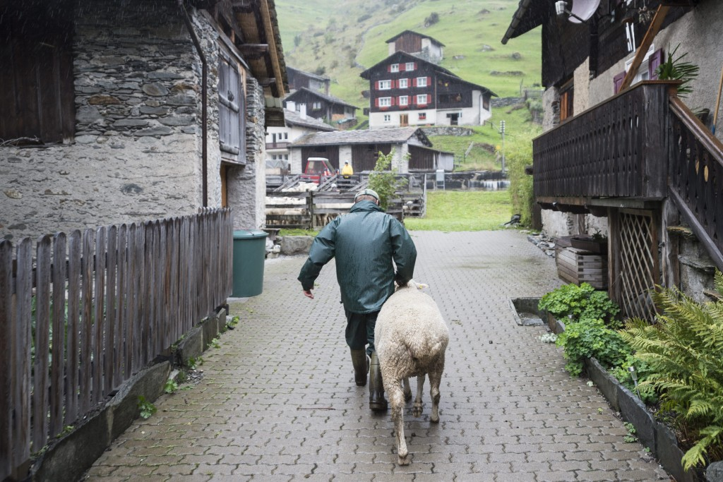 "Ein Bauer bringt einen ""Nachzuegler"" zur traditionellen ""Schafteilet"", an welcher Schafe nach dem Alpsommer auf ihre Besitzer aufgeteilt werden, aufgenommen am Donnerstag, 17. September 2015, in Vals. (KEYSTONE/Gian Ehrenzeller) A man drives a sheep towards the traditional ""Schafteilet"", where sheep will be split to their owners after a summer on the alp, on Thursday, September 17, 2015, in Vals, canton of Grisons, eastern Switzerland. (KEYSTONE/Gian Ehrenzeller)"