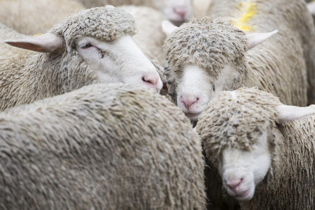 """Schafe stehen im Regen an der traditionellen """"Schafteilet"""" an welcher die Tiere nach dem Alpsommer auf ihre Besitzer aufgeteilt werden, aufgenommen am Donnerstag, 17. September 2015, in Vals. (KEYSTONE/Gian Ehrenzeller)"""