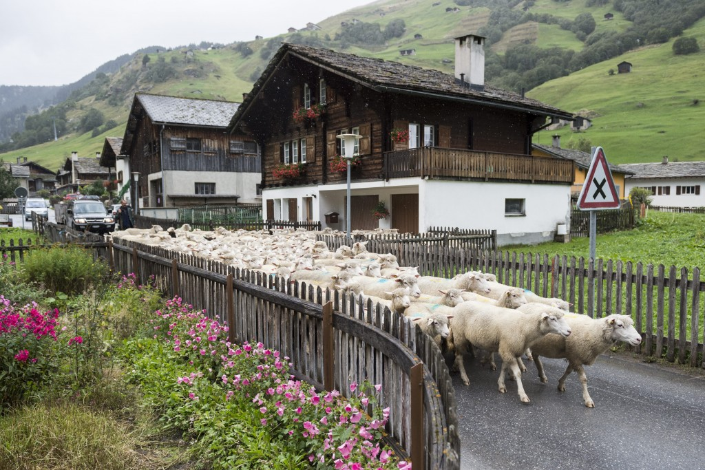 "Schafe werden von der Canalalp nach Vals getrieben, wo sie bei der ""Schafteilet"" auf ihre Besitzer aufgeteilt werden, aufgenommen am Donnerstag, 17. September 2015, in Vals. (KEYSTONE/Gian Ehrenzeller) Sheep were driven down to the valley after a summer on the alp, on Thursday, September 17, 2015, in Vals, canton of Grisons, eastern Switzerland. (KEYSTONE/Gian Ehrenzeller)"
