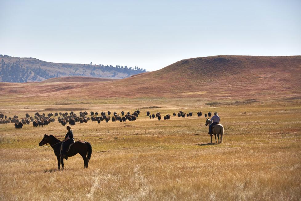 South Dakota USA, Buffalo Roundup 2015 im Custer State Park. Foto: Moritz Hager