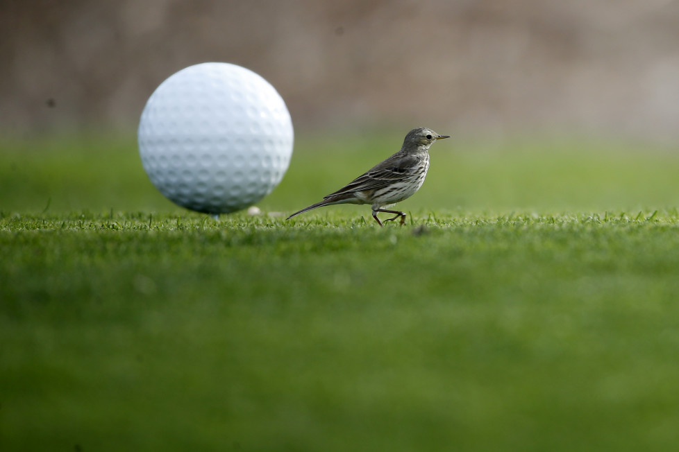 SAN DIEGO, CA - JANUARY 27: A small bird lands on the 17th tee during the Farmers Insurance Open Zurich Pro-Am at Torrey Pines North on January 27, 2016 in San Diego, California. (Photo by Sean M. Haffey/Getty Images)