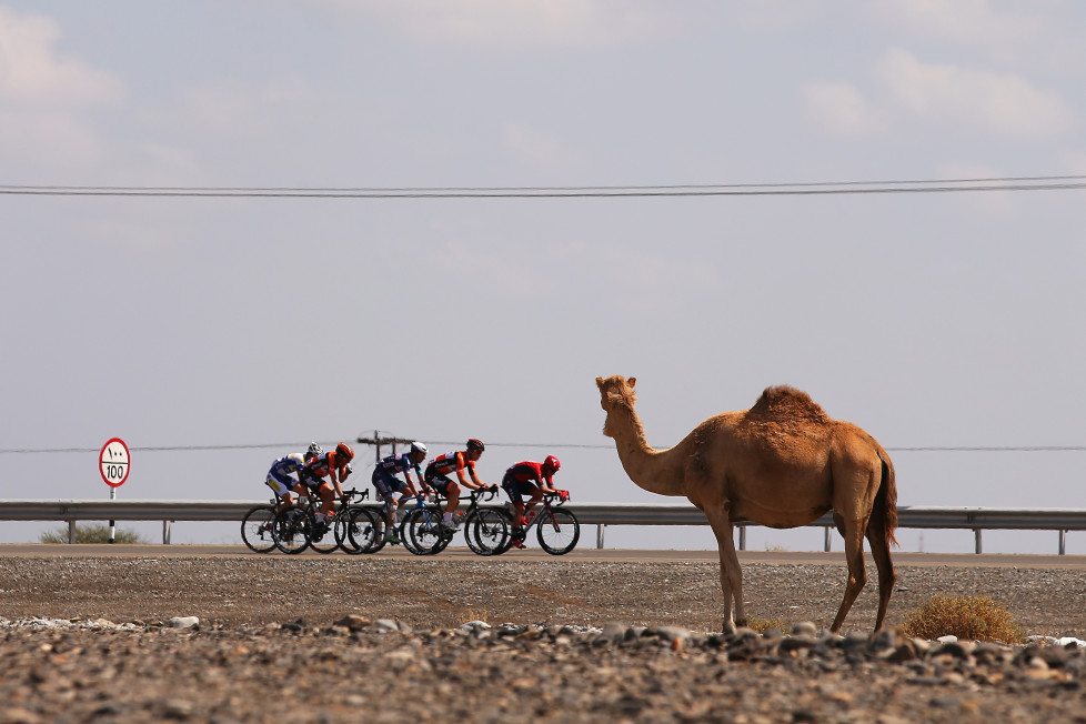 NASEEM BEACH, OMAN - FEBRUARY 18: The breakaway group pass a camel during stage three of the 2016 Tour of Oman, a 176.5km road stage from Al Sawadi Beach to Naseem Beach, on February 18, 2016 in Naseem Beach, Oman. (Photo by Bryn Lennon/Getty Images)