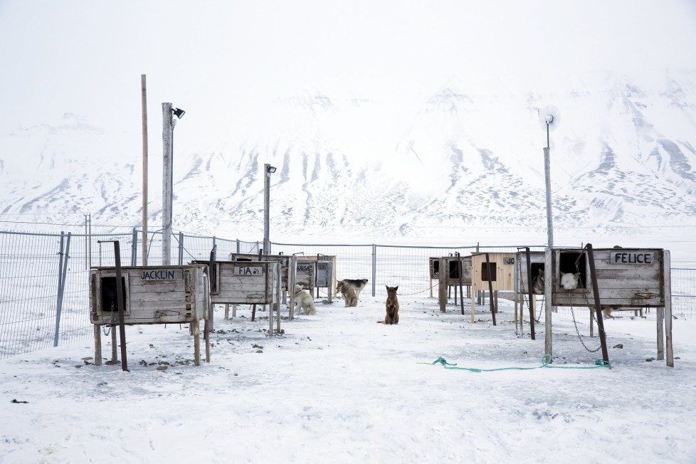 """Dogs, some that are family pets and others that are used for dog sledges, are seen waiting in their yard outside the settlement in Longyerbyean, Svalbard, Norway, October 22, 2015. A Norwegian chain of islands just 1,200 km (750 miles) from the North Pole is trying to promote new technologies, tourism and scientific research in a shift from high-polluting coal mining that has been a backbone of the remote economy for decades. Norway suspended most coal mining on the Svalbard archipelago last year because of the high costs, and is looking for alternative jobs for about 2,200 inhabitants on islands where polar bears roam. Part of the answer may be to boost science: in Ny-Alesund, the world's most northerly permanent non-military settlement, scientists from 11 nations including Norway, Germany, France, Britain, India and South Korea study issues such as climate change. The presence of Norway, a NATO member, also gives the alliance a strategic foothold in the far north, of increasing importance after neighbouring Russia annexed Ukraine's Crimea region in 2014. REUTERS/Anna FilipovaPICTURE 11 OF 19 - SEARCH """"SVALBARD FILIPOVA"""" FOR ALL IMAGES"""