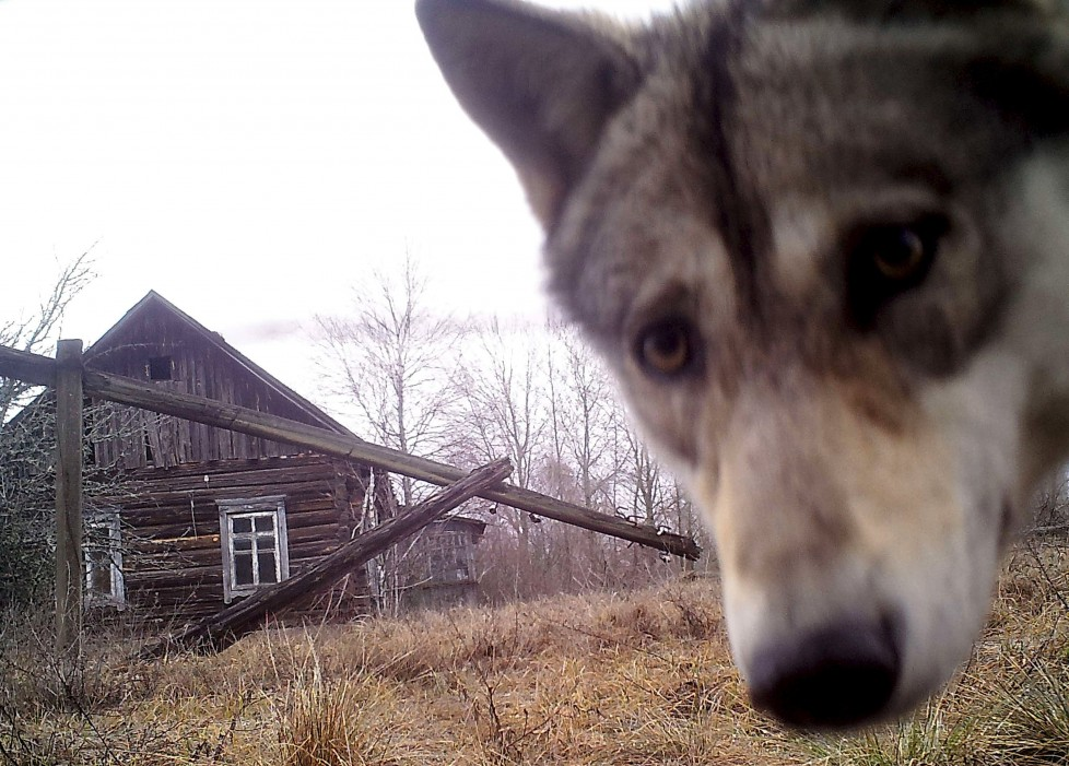 "A wolf looks into the camera at the 30 km (19 miles) exclusion zone around the Chernobyl nuclear reactor in the abandoned village of Orevichi, Belarus, March 2, 2016. What happens to the environment when humans disappear? Thirty years after the Chernobyl nuclear disaster, booming populations of wolf, elk and other wildlife in the vast contaminated zone in Belarus and Ukraine provide a clue. On April 26, 1986, a botched test at the nuclear plant in Ukraine, then a Soviet republic, sent clouds of smouldering radioactive material across large swathes of Europe. Over 100,000 people had to abandon the area permanently, leaving native animals the sole occupants of a cross-border ""exclusion zone"" roughly the size of Luxembourg. Photo taken with trail camera. REUTERS/Vasily Fedosenko SEARCH ""WILD CHERNOBYL"" FOR THIS STORY. SEARCH ""THE WIDER IMAGE"" FOR ALL STORIES TPX IMAGES OF THE DAY"