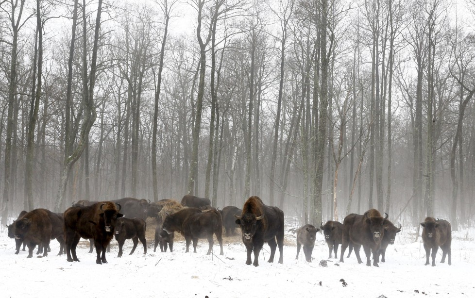 "Bisons are seen at a bison nursery in the 30 km (19 miles) exclusion zone around the Chernobyl nuclear reactor near the abandoned village of Dronki, Belarus, January 28, 2016. What happens to the environment when humans disappear? Thirty years after the Chernobyl nuclear disaster, booming populations of wolf, elk and other wildlife in the vast contaminated zone in Belarus and Ukraine provide a clue. On April 26, 1986, a botched test at the nuclear plant in Ukraine, then a Soviet republic, sent clouds of smouldering radioactive material across large swathes of Europe. Over 100,000 people had to abandon the area permanently, leaving native animals the sole occupants of a cross-border ""exclusion zone"" roughly the size of Luxembourg. REUTERS/Vasily Fedosenko SEARCH ""WILD CHERNOBYL"" FOR THIS STORY. SEARCH ""THE WIDER IMAGE"" FOR ALL STORIES"