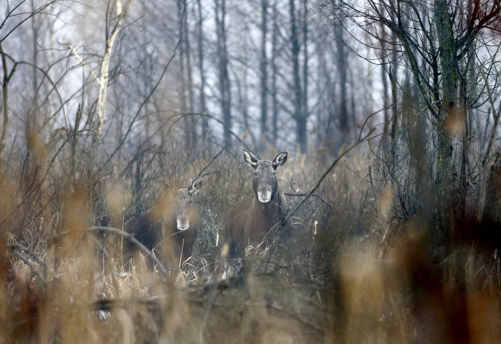 "Elks are seen in the 30 km (19 miles) exclusion zone around the Chernobyl nuclear reactor near the abandoned village of Dronki, Belarus, January 28, 2016. What happens to the environment when humans disappear? Thirty years after the Chernobyl nuclear disaster, booming populations of wolf, elk and other wildlife in the vast contaminated zone in Belarus and Ukraine provide a clue. On April 26, 1986, a botched test at the nuclear plant in Ukraine, then a Soviet republic, sent clouds of smouldering radioactive material across large swathes of Europe. Over 100,000 people had to abandon the area permanently, leaving native animals the sole occupants of a cross-border ""exclusion zone"" roughly the size of Luxembourg. REUTERS/Vasily Fedosenko SEARCH ""WILD CHERNOBYL"" FOR THIS STORY. SEARCH ""THE WIDER IMAGE"" FOR ALL STORIES"