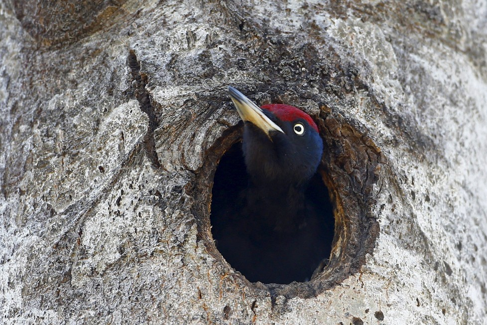 "A woodpecker looks out of a hollow in a tree in the 30 km (19 miles) exclusion zone around the Chernobyl nuclear reactor near the abandoned village of Babchin, Belarus, April 3, 2016. What happens to the environment when humans disappear? Thirty years after the Chernobyl nuclear disaster, booming populations of wolf, elk and other wildlife in the vast contaminated zone in Belarus and Ukraine provide a clue. On April 26, 1986, a botched test at the nuclear plant in Ukraine, then a Soviet republic, sent clouds of smouldering radioactive material across large swathes of Europe. Over 100,000 people had to abandon the area permanently, leaving native animals the sole occupants of a cross-border ""exclusion zone"" roughly the size of Luxembourg. REUTERS/Vasily Fedosenko SEARCH ""WILD CHERNOBYL"" FOR THIS STORY. SEARCH ""THE WIDER IMAGE"" FOR ALL STORIES"