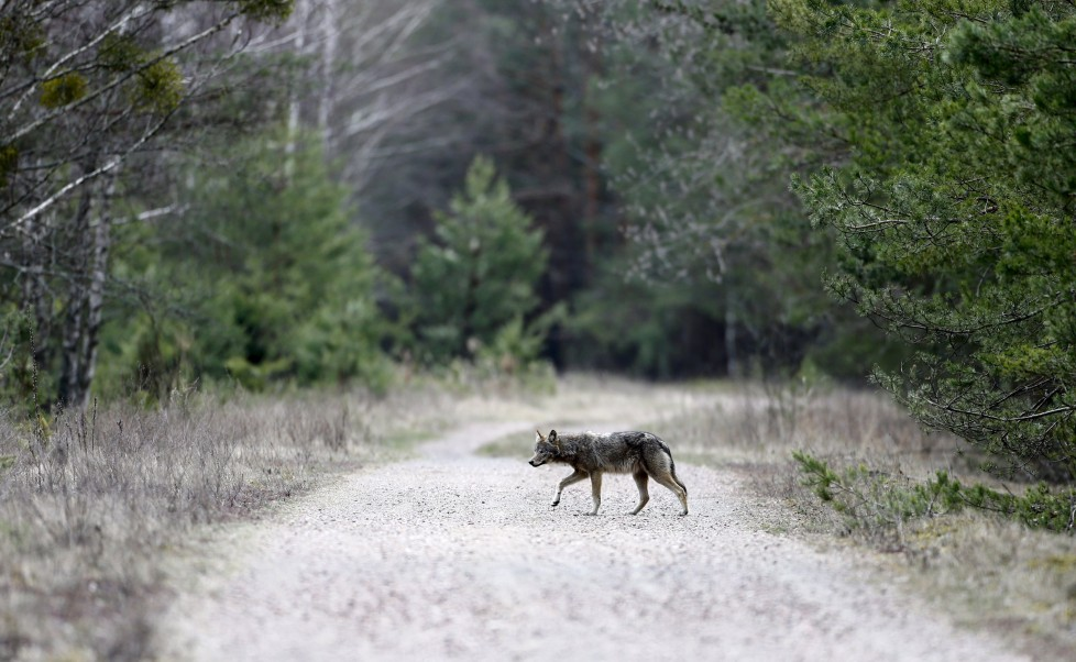 "A wolf crosses a road in a forest in the 30 km (19 miles) exclusion zone around the Chernobyl nuclear reactor near the abandoned village of Dronki, Belarus, April 2, 2016. What happens to the environment when humans disappear? Thirty years after the Chernobyl nuclear disaster, booming populations of wolf, elk and other wildlife in the vast contaminated zone in Belarus and Ukraine provide a clue. On April 26, 1986, a botched test at the nuclear plant in Ukraine, then a Soviet republic, sent clouds of smouldering radioactive material across large swathes of Europe. Over 100,000 people had to abandon the area permanently, leaving native animals the sole occupants of a cross-border ""exclusion zone"" roughly the size of Luxembourg. REUTERS/Vasily Fedosenko SEARCH ""WILD CHERNOBYL"" FOR THIS STORY. SEARCH ""THE WIDER IMAGE"" FOR ALL STORIES"