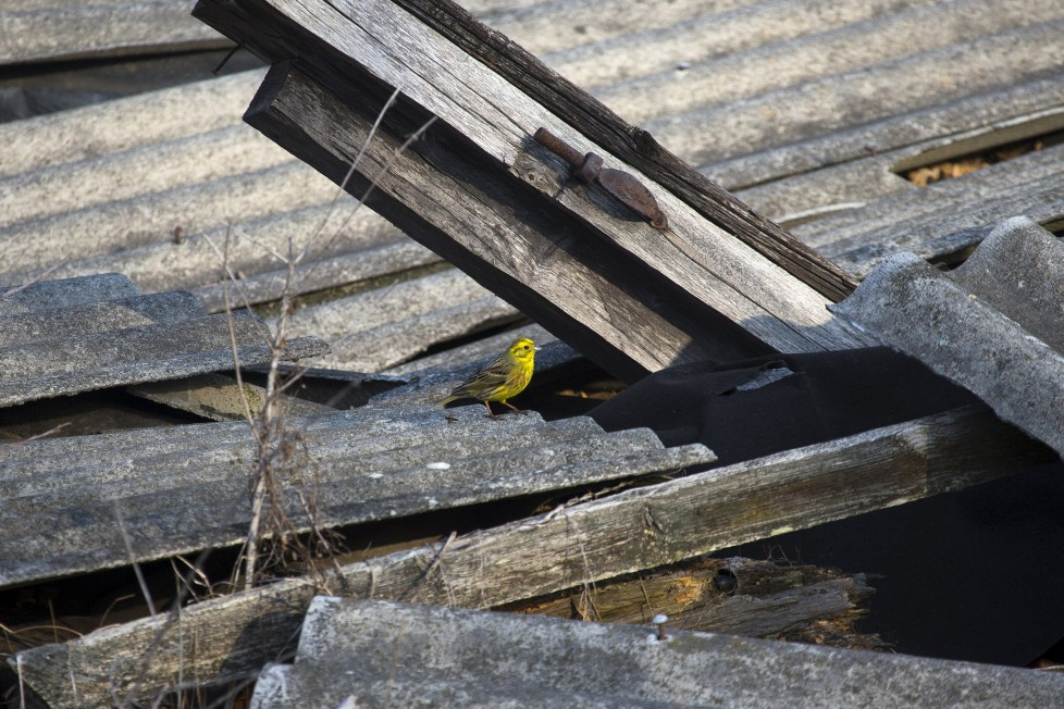 "A yellowhammer is seen on the remains of a house at the 30 km (19 miles) exclusion zone around the Chernobyl nuclear reactor in the abandoned village of Orevichi, Belarus, March 12, 2016. What happens to the environment when humans disappear? Thirty years after the Chernobyl nuclear disaster, booming populations of wolf, elk and other wildlife in the vast contaminated zone in Belarus and Ukraine provide a clue. On April 26, 1986, a botched test at the nuclear plant in Ukraine, then a Soviet republic, sent clouds of smouldering radioactive material across large swathes of Europe. Over 100,000 people had to abandon the area permanently, leaving native animals the sole occupants of a cross-border ""exclusion zone"" roughly the size of Luxembourg. REUTERS/Vasily Fedosenko SEARCH ""WILD CHERNOBYL"" FOR THIS STORY. SEARCH ""THE WIDER IMAGE"" FOR ALL STORIES"