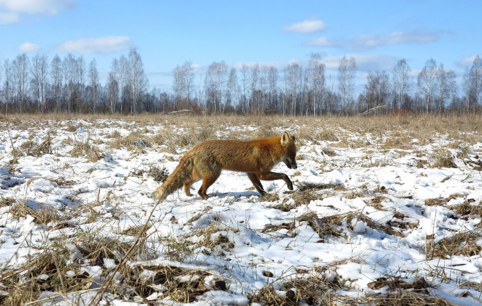 "A fox walks through the 30 km (19 miles) exclusion zone around the Chernobyl nuclear reactor near the abandoned village of Babchin, Belarus, March 5, 2016. What happens to the environment when humans disappear? Thirty years after the Chernobyl nuclear disaster, booming populations of wolf, elk and other wildlife in the vast contaminated zone in Belarus and Ukraine provide a clue. On April 26, 1986, a botched test at the nuclear plant in Ukraine, then a Soviet republic, sent clouds of smouldering radioactive material across large swathes of Europe. Over 100,000 people had to abandon the area permanently, leaving native animals the sole occupants of a cross-border ""exclusion zone"" roughly the size of Luxembourg. REUTERS/Vasily Fedosenko SEARCH ""WILD CHERNOBYL"" FOR THIS STORY. SEARCH ""THE WIDER IMAGE"" FOR ALL STORIES"
