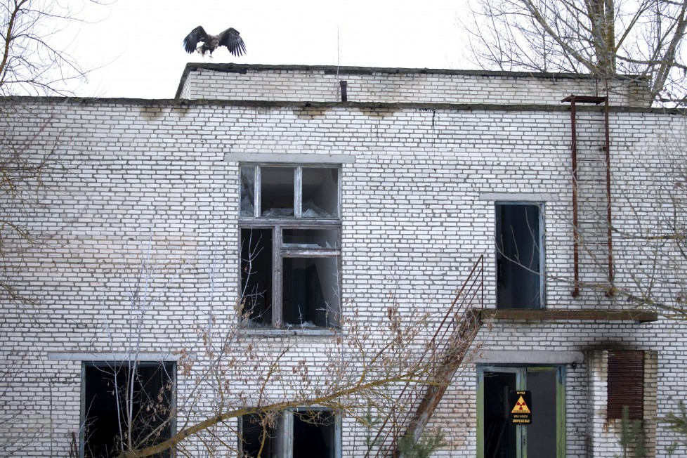 """A white-tailed eagle sits on the roof of an abandoned school near the 30 km (19 miles) exclusion zone around the Chernobyl nuclear reactor, in the abandoned village of Tulgovichi, Belarus, January 29, 2016. What happens to the environment when humans disappear? Thirty years after the Chernobyl nuclear disaster, booming populations of wolf, elk and other wildlife in the vast contaminated zone in Belarus and Ukraine provide a clue. On April 26, 1986, a botched test at the nuclear plant in Ukraine, then a Soviet republic, sent clouds of smouldering radioactive material across large swathes of Europe. Over 100,000 people had to abandon the area permanently, leaving native animals the sole occupants of a cross-border """"exclusion zone"""", roughly the size of Luxembourg. REUTERS/Vasily Fedosenko SEARCH """"WILD CHERNOBYL"""" FOR THIS STORY. SEARCH """"THE WIDER IMAGE"""" FOR ALL STORIES"""
