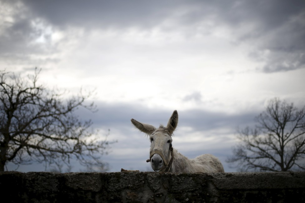 """A donkey stays inside a pen in Povoa de Agracoes near Chaves, Portugal, April 18, 2016. In the villages of Agracoes and Povoa de Agracoe, the steady drip-drip of emigration has brought down population numbers from more than 50 residents to fewer than a dozen each. These remaining villagers share the same glum acceptance that, after they have gone, their villages will die out too. It is the same desolate picture in scores of other backwater settlements in Portugal's interior, north to south. REUTERS/Rafael Marchante SEARCH """"ABANDONED PORTUGAL"""" FOR THIS STORY. SEARCH """"THE WIDER IMAGE"""" FOR ALL STORIES"""