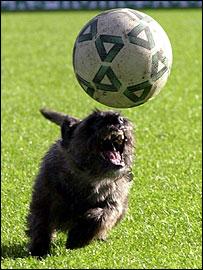 Border Terrier Jake